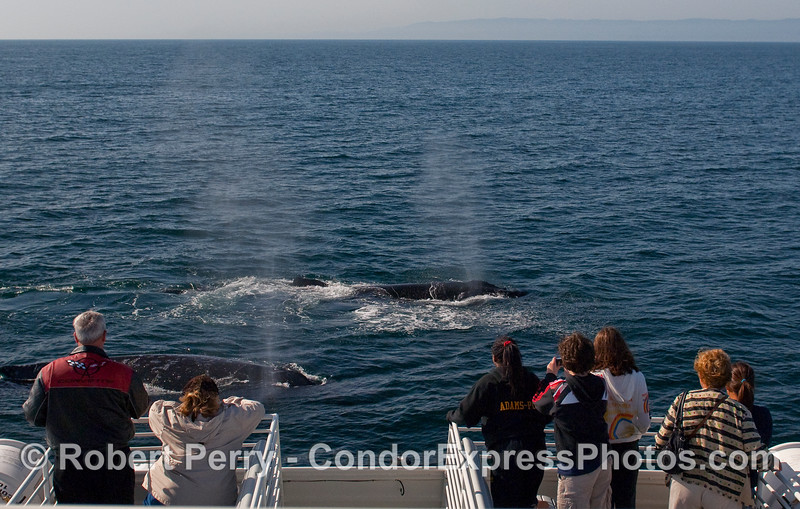 Multiple Humpback Whales (Megaptera novaeangliae) come in to take a close look at the whalers on the sun deck.