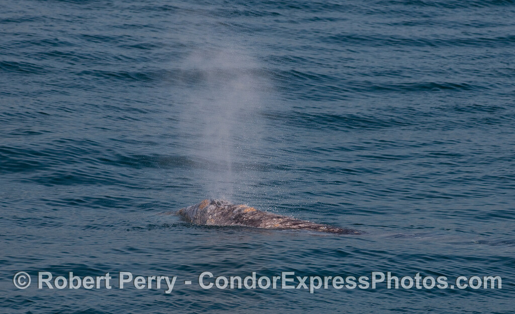 The short, bushy spout of a Gray Whale (Eschrichtius robustus).