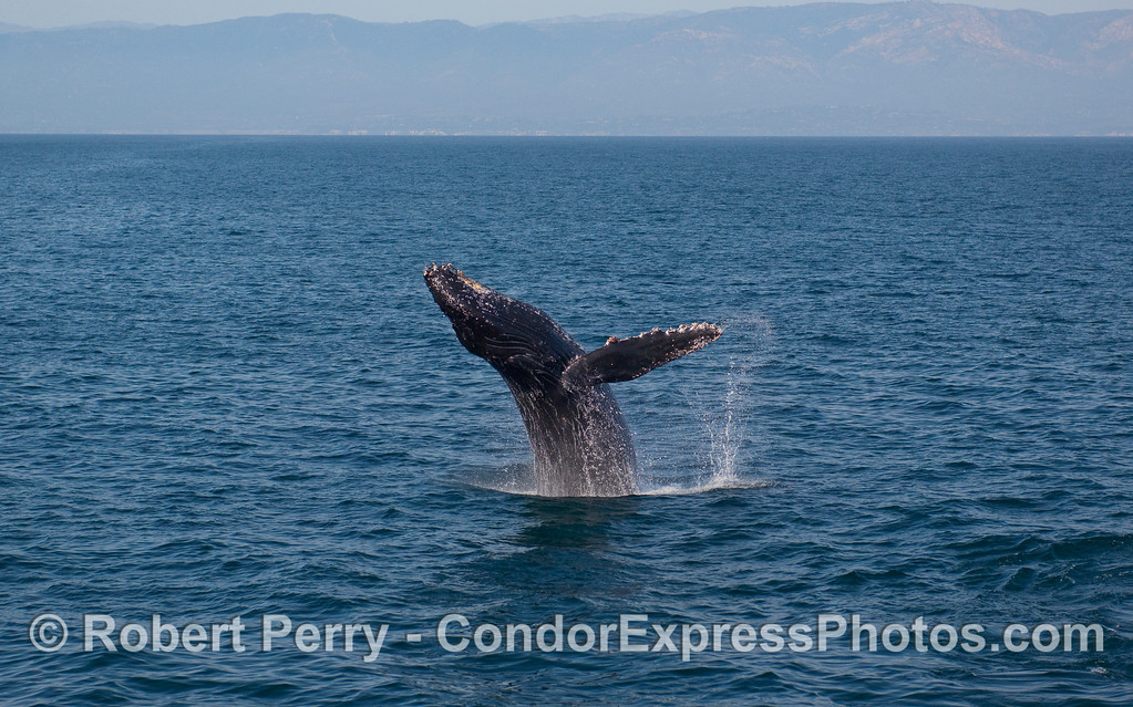 A Humpback Whale (Megaptera novaeangliae) breach sequence, image 2 of 4 - arching back.