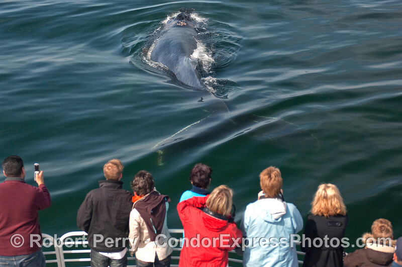 Entire body of a Humpback Whale (Megaptera novaeangliae) viewed from the back.