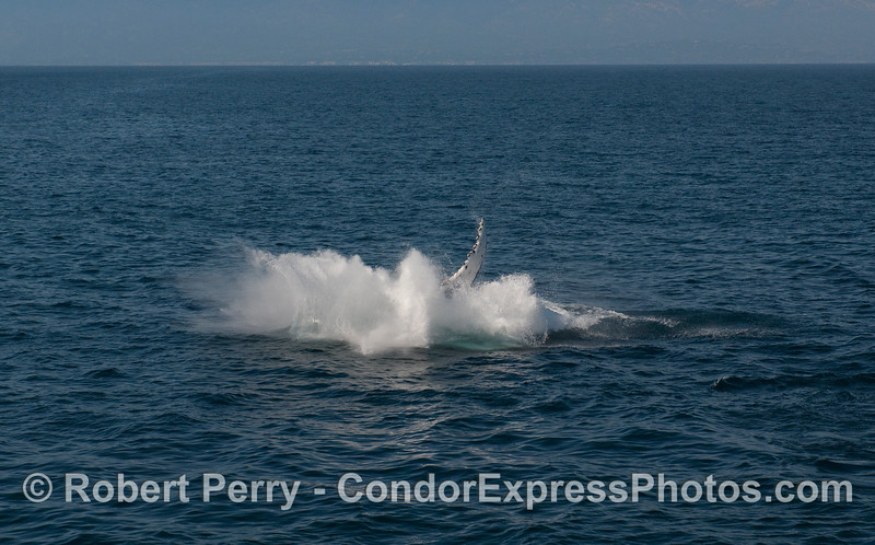 A Humpback Whale (Megaptera novaeangliae) breach sequence, image 4 of 4 - splashdown!