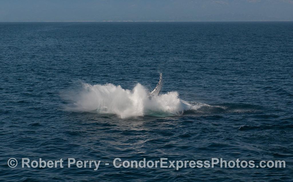 A Humpback Whale (Megaptera novaeangliae) breach sequence, image 4 of 4 - splashdown!