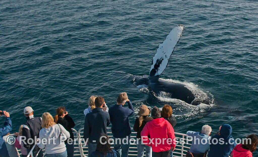 A pectoral fin-slapping Humpback Whale (Megaptera novaeangliae) waves hello to the nearby whalers on board the Condor.