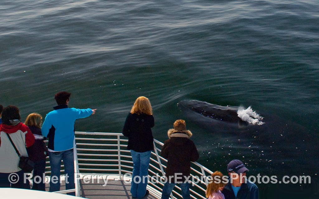There it is!  The beast comes up and begins to spout...a Humpback Whale (Megaptera novaeangliae).