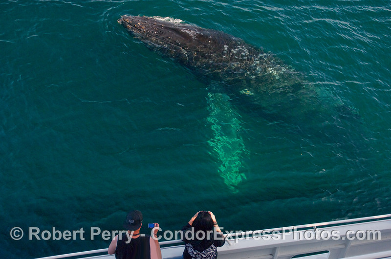 A large adult Humpback Whale (Megaptera novaeangliae) comes up for a look.