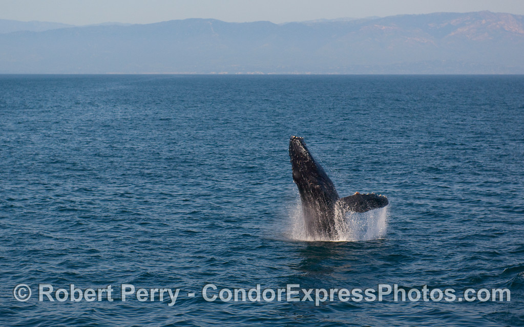 A Humpback Whale (Megaptera novaeangliae) breach sequence, image 1 of 4 - lift off.