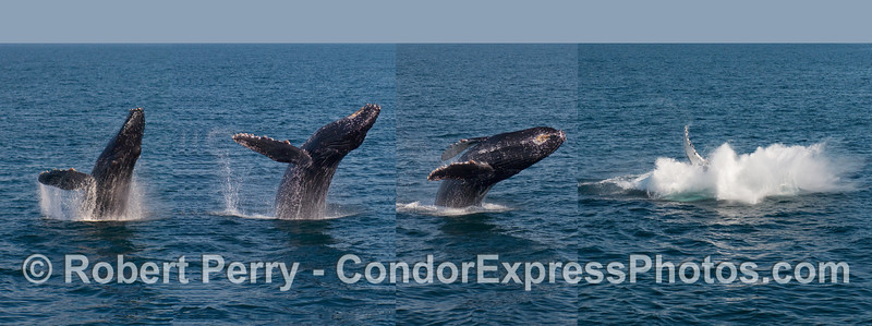 Here is a photo montage combining all of the images of the Humpback Whale (Megaptera novaeangliae) shown in individual images in the previous photos.  I reversed the direction of the breach to fit the western eye.  THIS IS NOT ONE NATURAL PHOTOGRAPH BUT ONE I PUT TOGETHER USING 4 SEPARATE PICTURES.