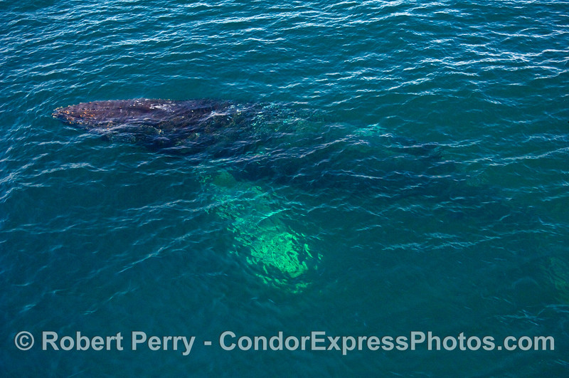 Up from the depths!  A Humpback Whale (Megaptera novaeangliae) is seen just below the surface.