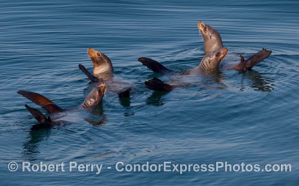 A raft of young California Sea Lions (Zalophus californianus).