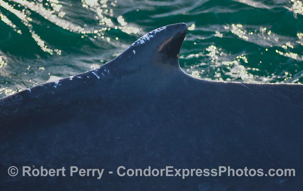 Close look at the dorsal fin of a friendly Humpback Whale (Megaptera novaeangliae).
