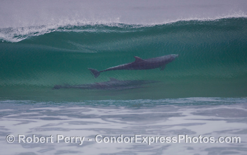 Bottlenose Dolphins (Tursiops truncatus) are part of the regular daily surfing scene at Zuma Beach, Malibu California.  This is the close cropped version .  A full frame view can be seen in the next image.