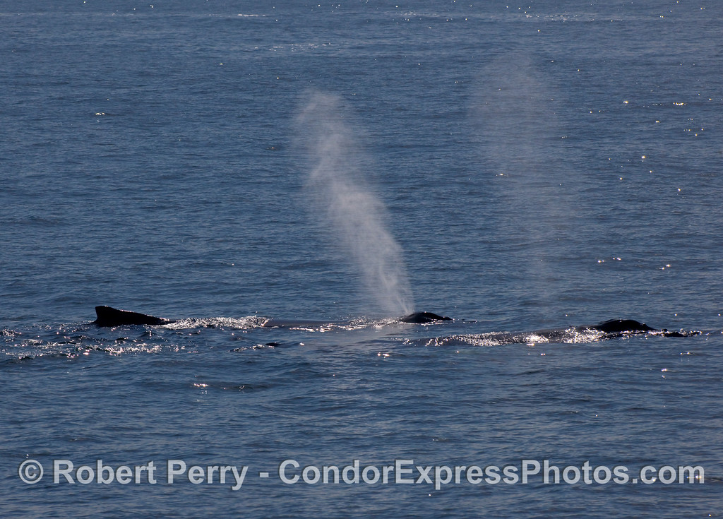 Two Humpback Whales (Megaptera novaeangliae) spouting in the sun.
