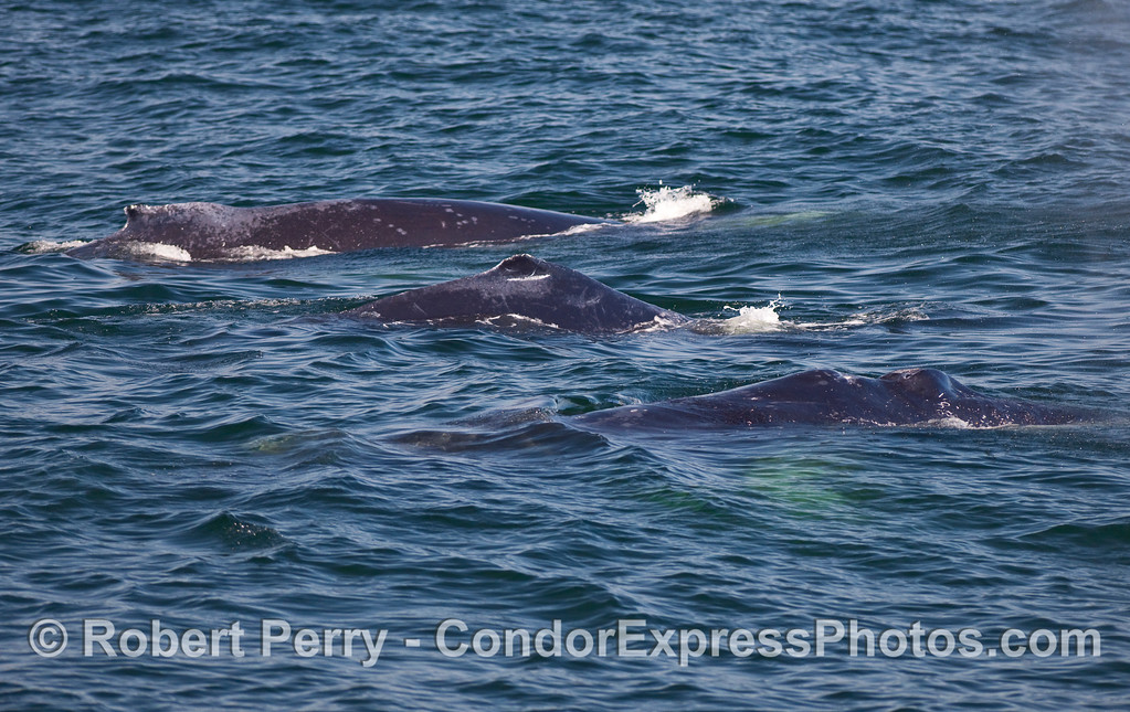 Three Humpback Whales (Megaptera novaeangliae) side by side.