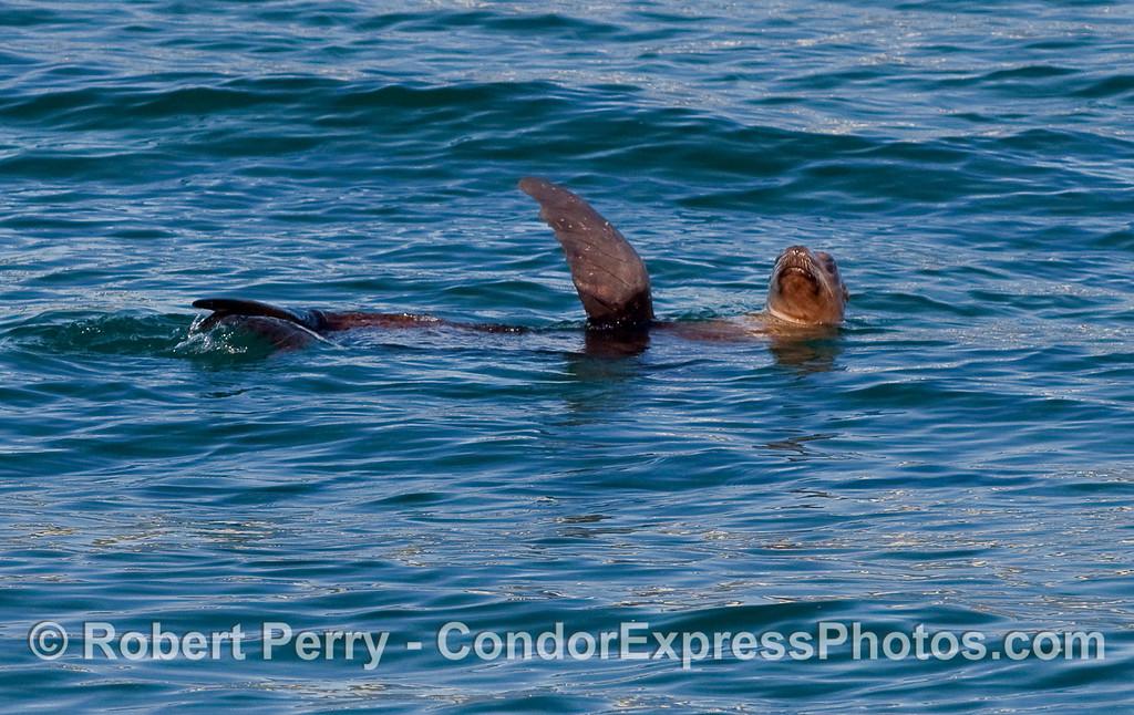 A solitary California Sea Lion (Zalophus californianus) is seen rafting on the open ocean.