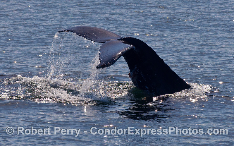 Side view of a Humpback Whale (Megaptera novaeangliae) tail fluke.