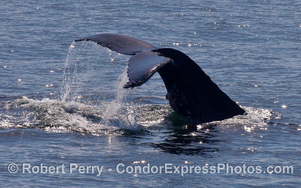 Side view of a Humpback Whale (Megaptera novaeangliae) tail fluke.