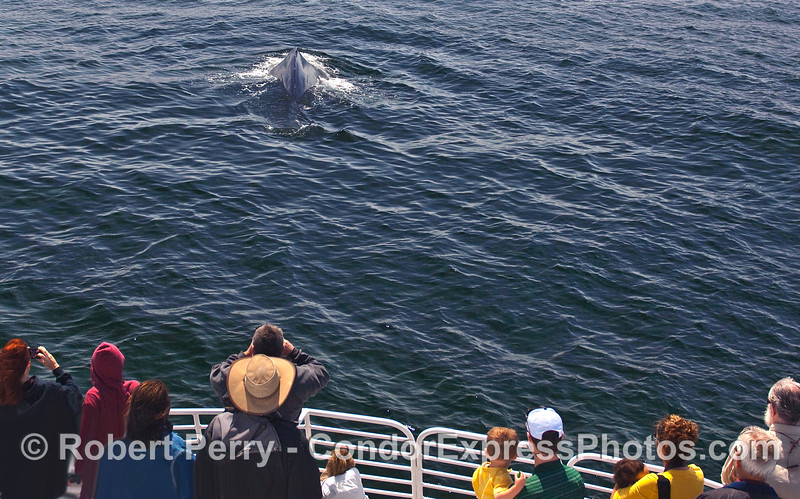 Whalers on the Condor Express enjoy a friendly and close approach by a Humpback Whale (Megaptera novaeangliae).