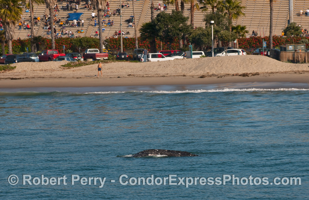 A young Gray Whale (Eschrichtius robustus) travelling very close to the beach with La Playa Stadium, Santa Barbara City College, in the background.