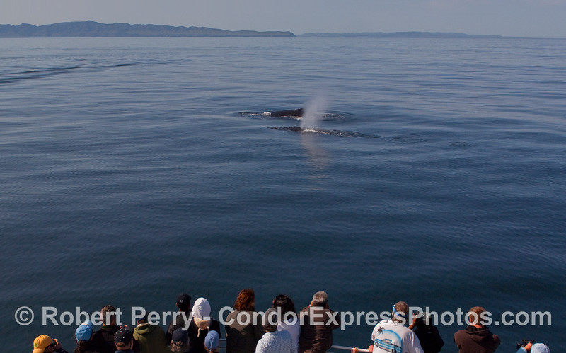 Two Humpback Whales (Megaptera novaeangliae), Santa Cruz and Santa Rosa Islands...on a very glassy, smooth day in the Santa Barbara Channel.