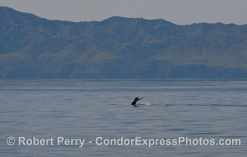 A tail fluke on a flat ocean - a Humpback Whale (Megaptera novaeangliae) with Santa Cruz Island in back.