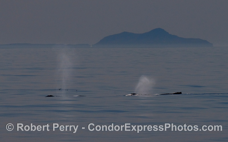 Two Humpback Whale (Megaptera novaeangliae) spouts with Anacapa Island in the background...over 25 miles to the southeast.