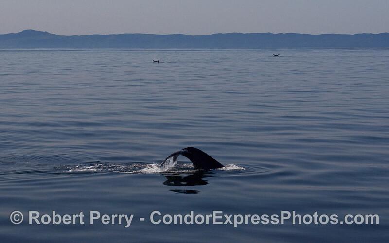 Humpback Whale (Megaptera novaeangliae) tail flukes everywhere on a glassy sea.   Santa Cruz Island is visible in the background.