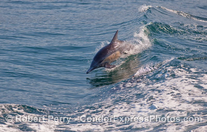 A Common Dolphin (Delphinus capensis) leaps on a small open ocean wave.