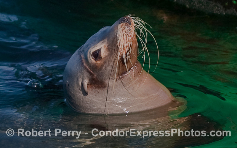 "A very close look at the head of a California Sea Lion (Zalophus californianus)...a ""necklace"" wound can be seen under the chin from nylon monofilament fishing gear."