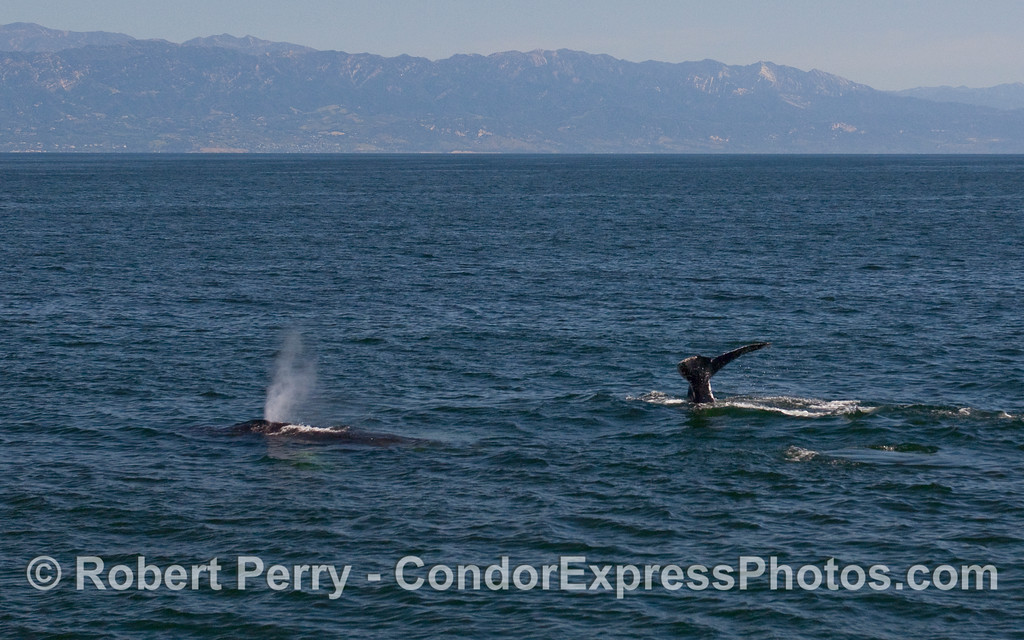 Two Humpback Whales (Megaptera novaeangliae) and the Santa Barbara coastline in the background.