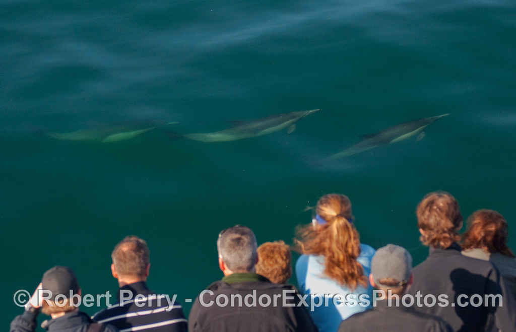 Whalers on board the Condor Express watch as three Common Dolphins (Delphinus capensis) pay a friendly visit.