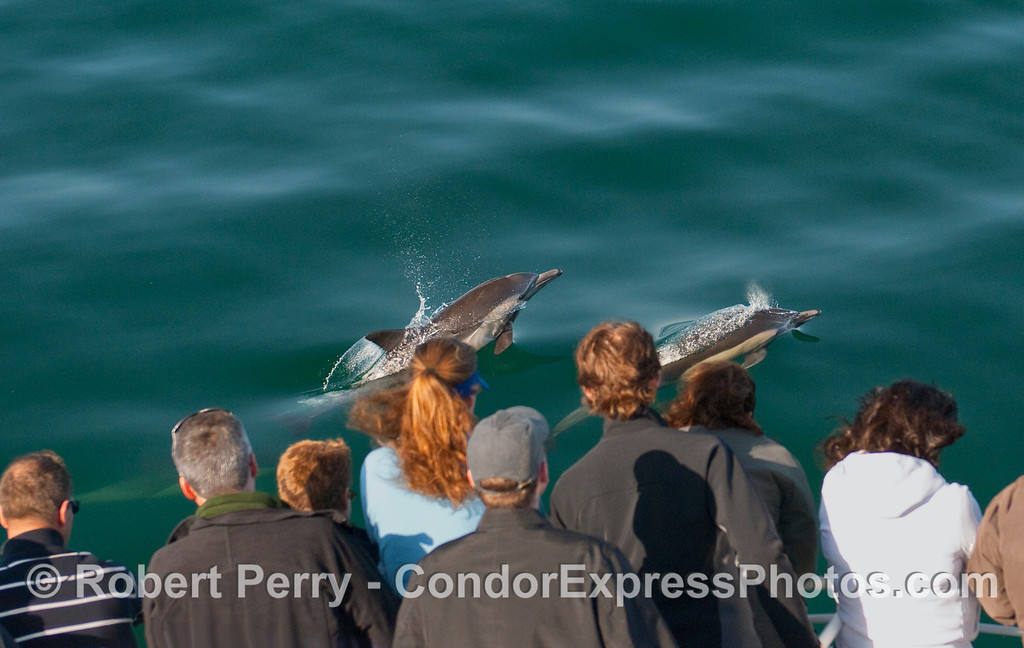 Two Common Dolphins (Delphinus capensis) leap in front of the Whalers on the Condor Express.