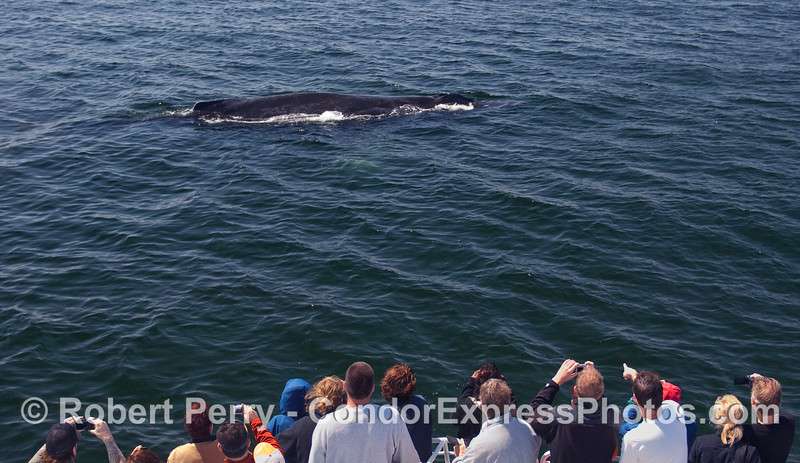 This time the whalers on board the Condor Express get a friendly Humpback Whale (Megaptera novaeangliae) to stop by.