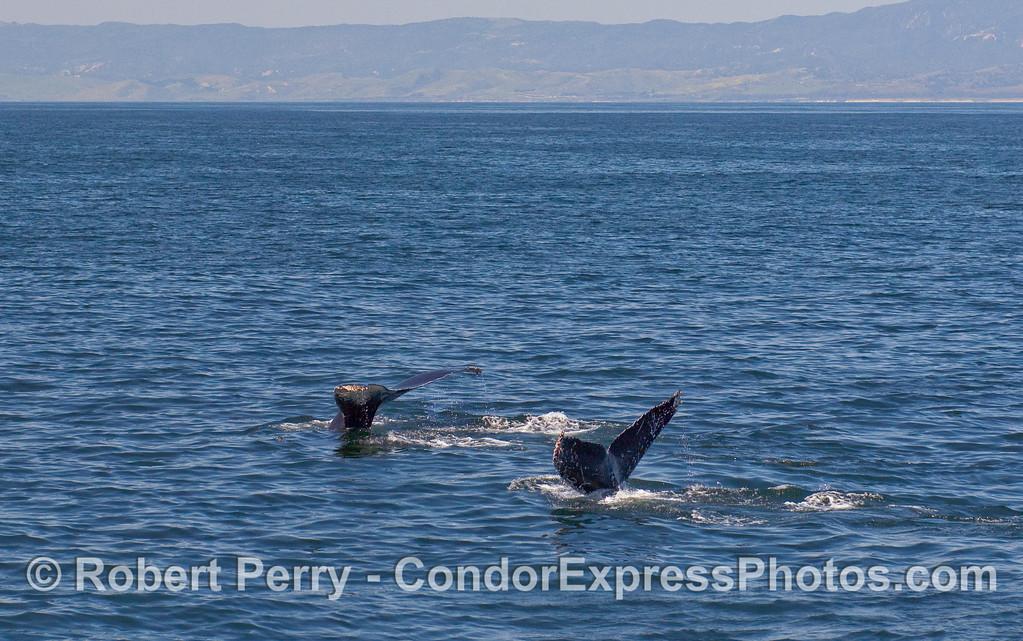 Twin flukes - Humpback Whales (Megaptera novaeangliae).