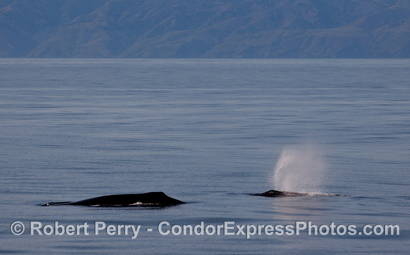 "Twice as much ""hump"" -- Humpback Whales (Megaptera novaeangliae) with Santa Cruz Island in the background."