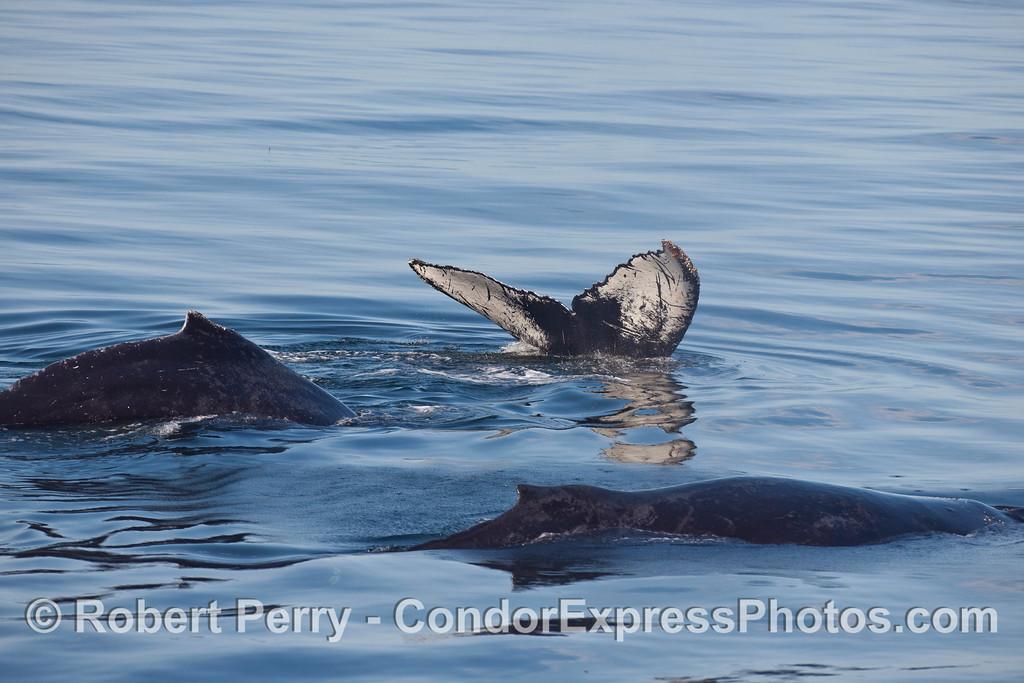 Three Humpback Whales (Megaptera novaeangliae).