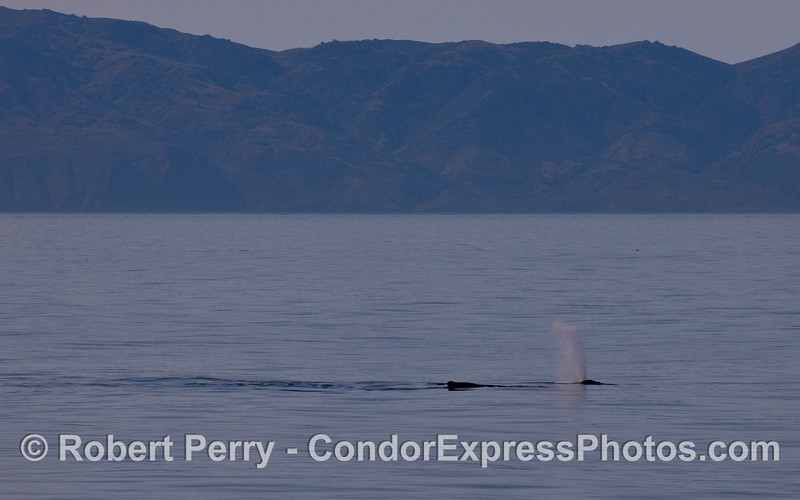 Two Humpback Whales (Megaptera novaeangliae) and Santa Cruz Island 10 miles to the south.