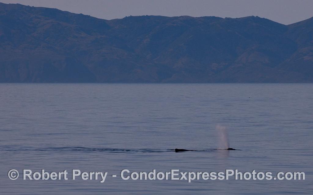 Two Humpback Whales (Megaptera novaeangliae) and Santa Cruz Island 10 miles to the south.
