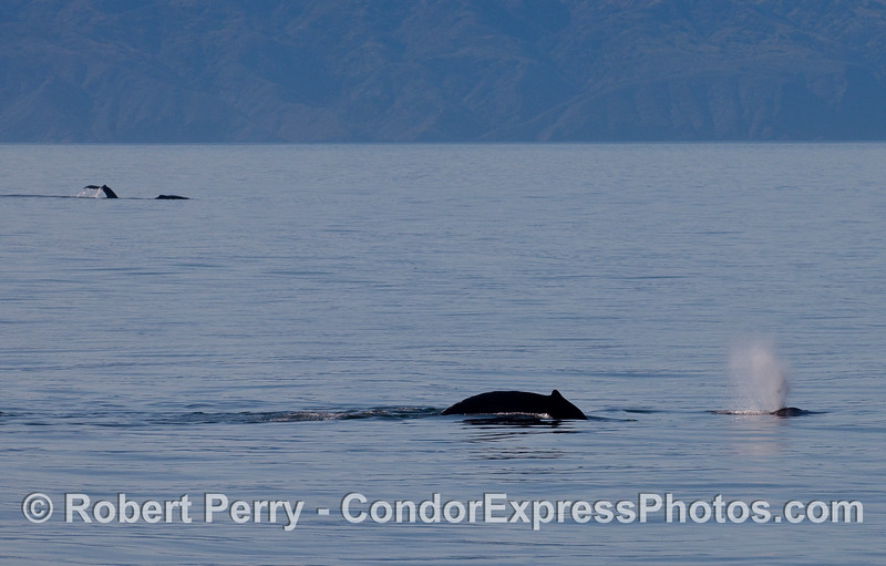 Two near, two far -- Humpback Whales (Megaptera novaeangliae) with Santa Cruz Island in the background.