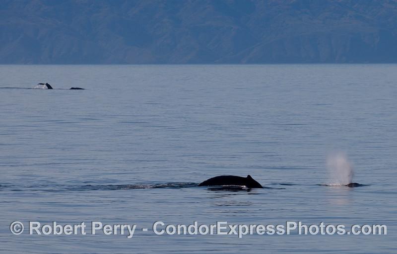 Two near, two far -- Humpback Whales (Megaptera novaeangliae) with Santa Cruz Island in the background.