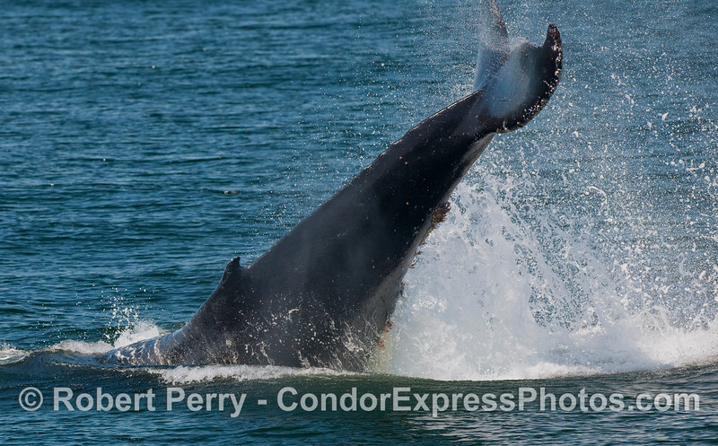 Humpback Whale (Megaptera novaeangliae) tail throwing.   Image 1 of 2.