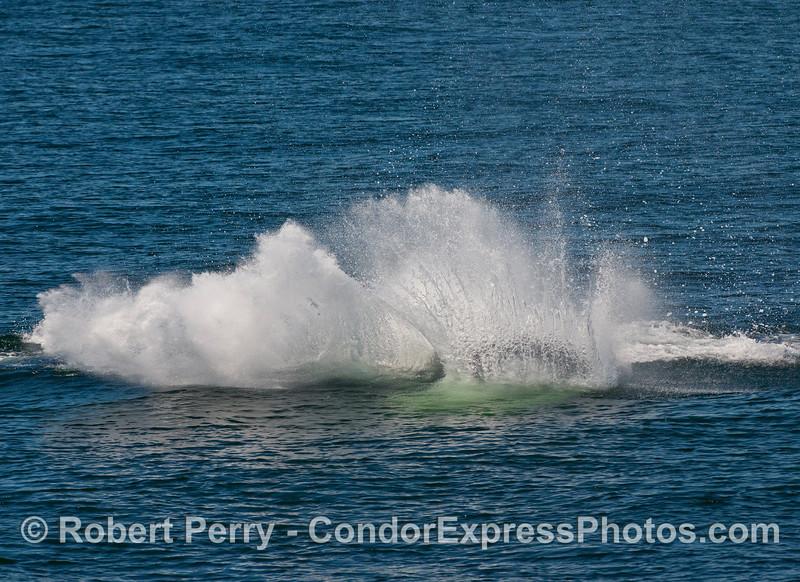 Humpback Whale (Megaptera novaeangliae) tail throwing.   Image 2 of 2.