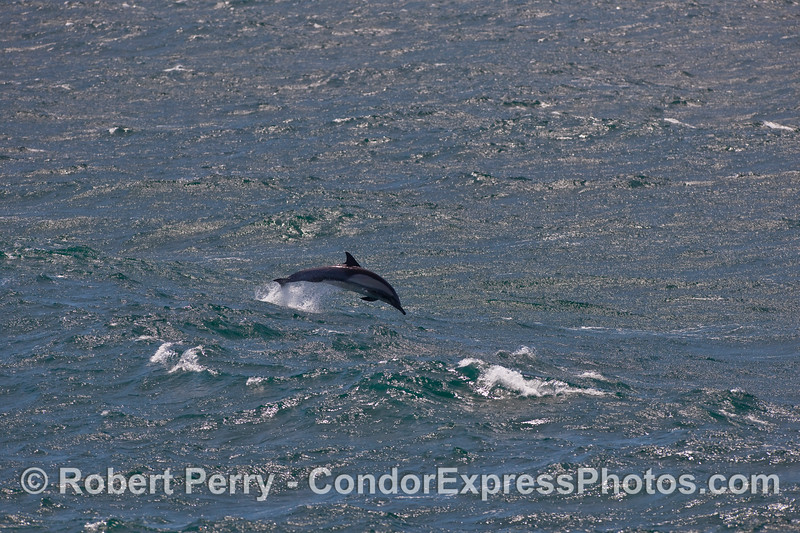Choppy seas in the afternoon sun, and a Common Dolphin (Delphinus capensis) leaps out of an 8-foot swell.