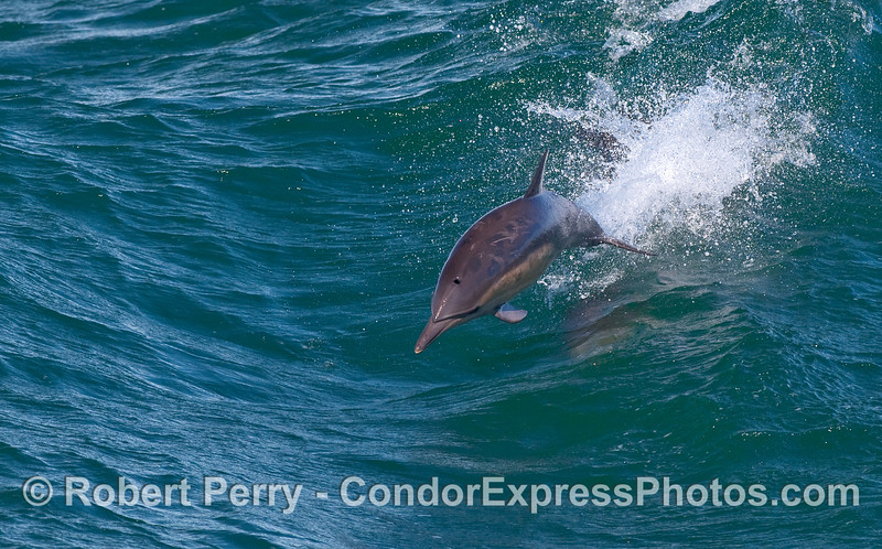 Another high flying Common Dolphin (Delphinus capensis).