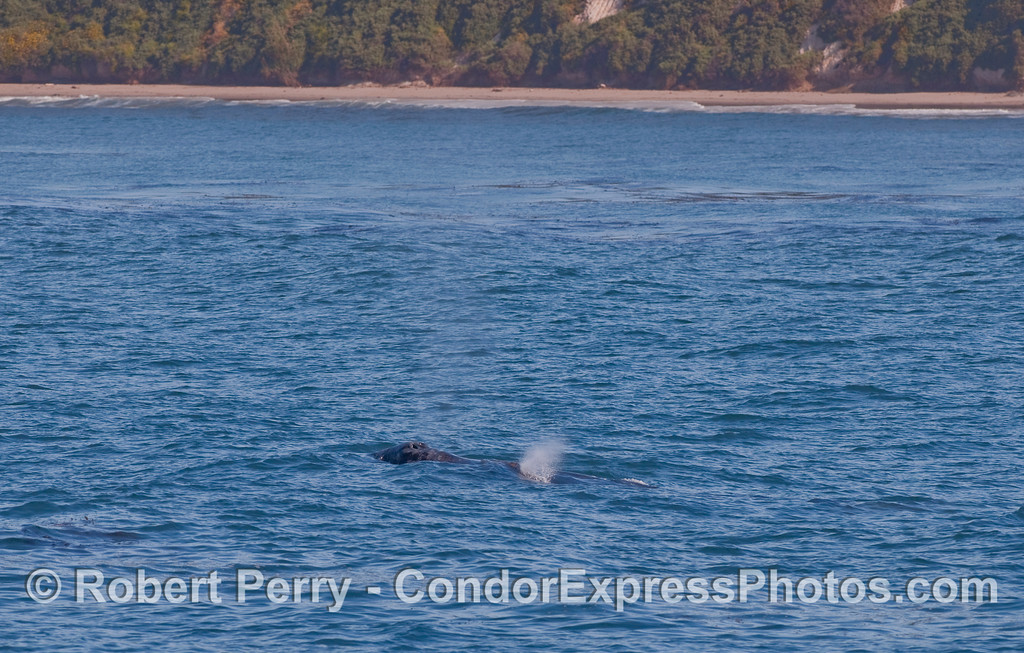 A Gray Whale (Eschrichtius robustus) cow and calf with the beach near Hope Ranch in the background.