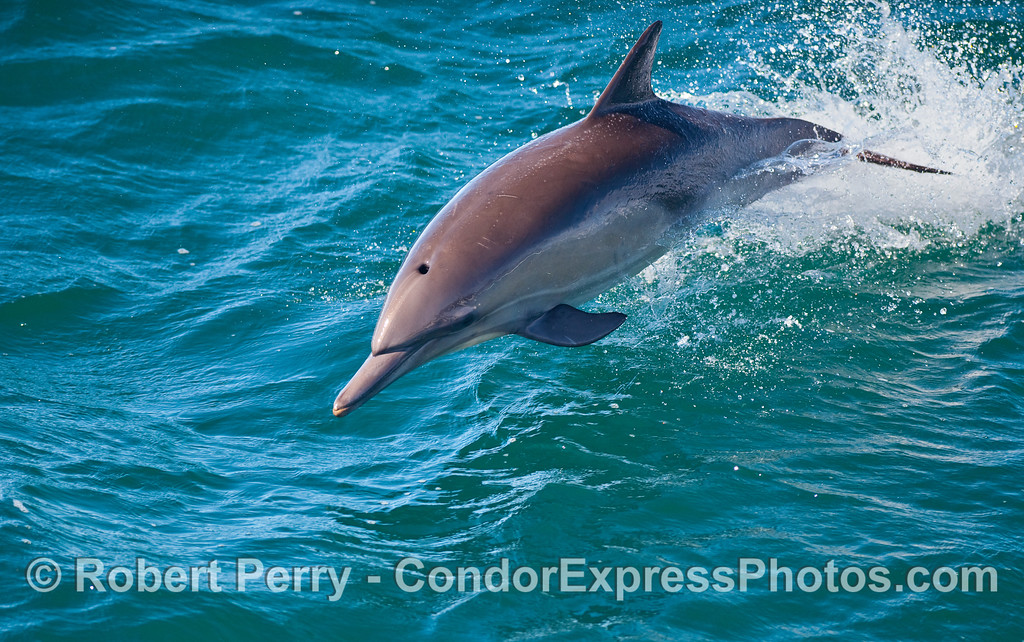 A close up look at a leaping Common Dolphin (Delphinus capensis).