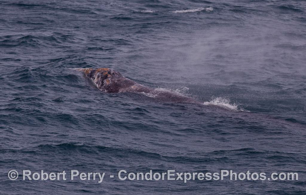 A Gray Whale (Eschrichtius robustus) spouting.