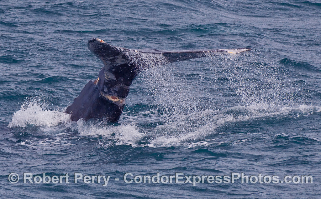 Image one of two tail fluke shots of this Gray Whale (Eschrichtius robustus) which show infected and encircling wounds plus scarring around the tail.  The Condor Express crew have theorized that this was caused by an entanglement.