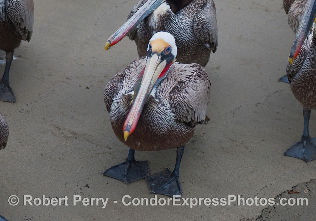 Brown Pelican (Pelecanus occidentalis) resting on wet sand.