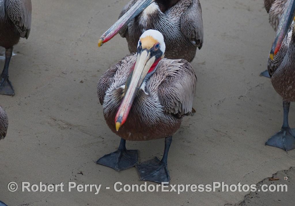 Brown Pelican (Pelecanus occidentalis) resting on wet sand.