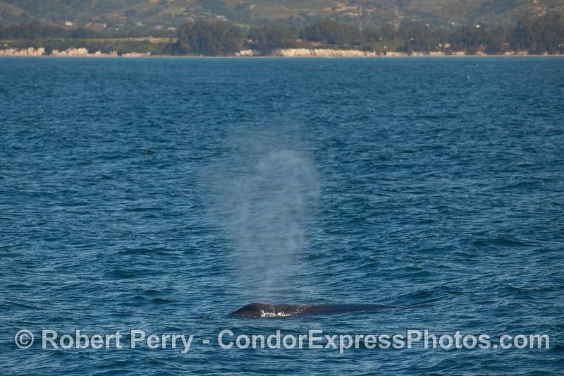 A Humpback Whale (Megaptera novaeangliae) just off the coast of Santa Barbara.